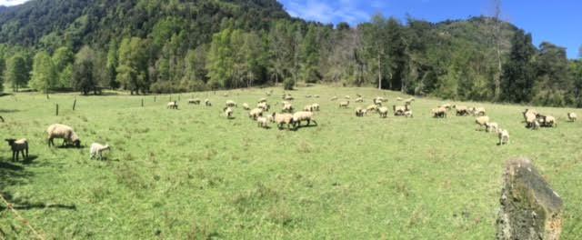 panoramica-ovejas